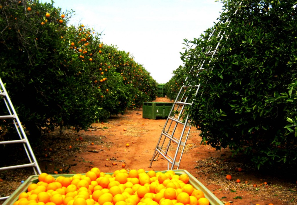 orange picking in australia