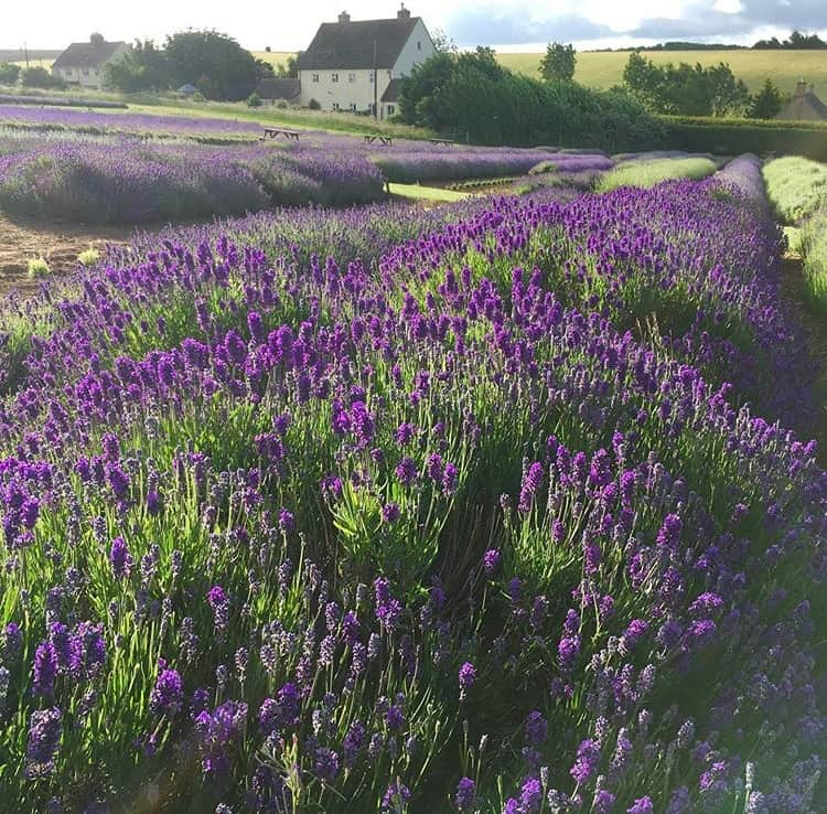 Lavender farm near you