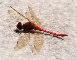 Red-tailed Dragonfly (2011)