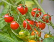 Red Tomatoes (2012)
