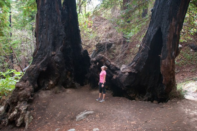 Giant burned-out redwoods