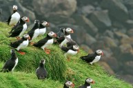 Puffin Colony