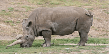 Black Rhino - extinct since 2006