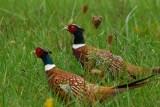 two-pheasants