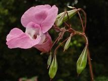 balsam-himalayan