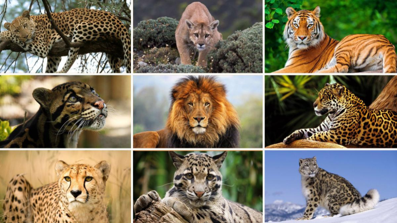 A List of 5 Big Cats That Love Water