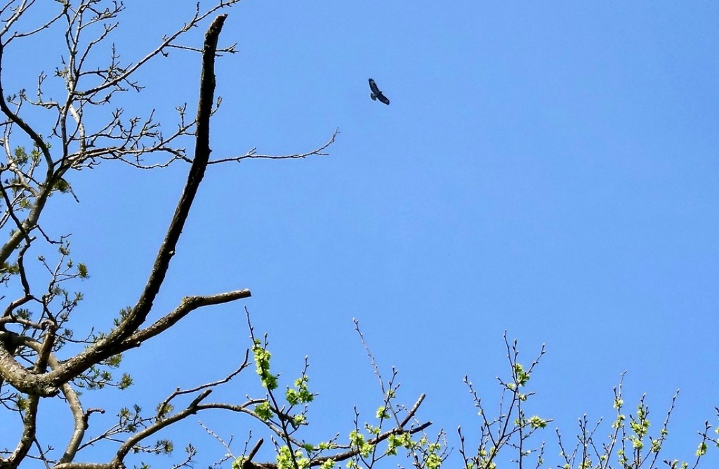 Red kite flying high