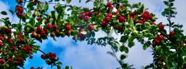 Apple tree thick with red apples against blue sky