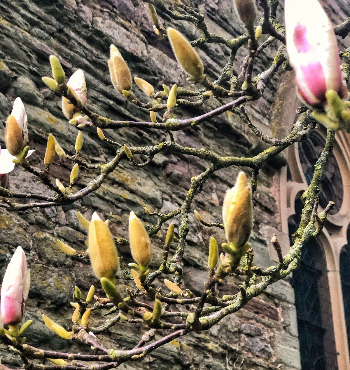 Magnolia buds next to Weobley church