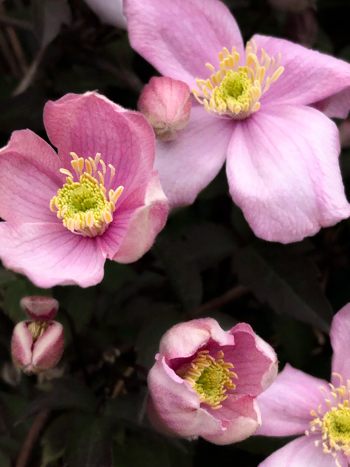 Close up Clematis flowers