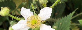 Delicate white-petalled bramble flower surrounded by a cluster of buds
