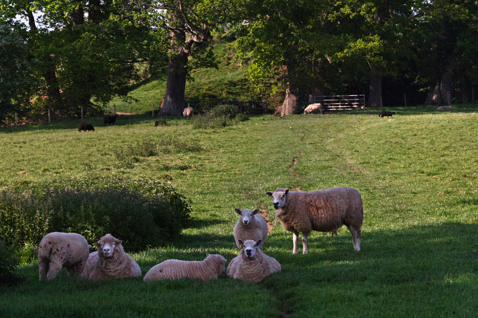 Sheep resting in shade of oak tree