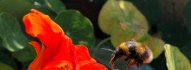 Bee landing on bright red nasturtium flower