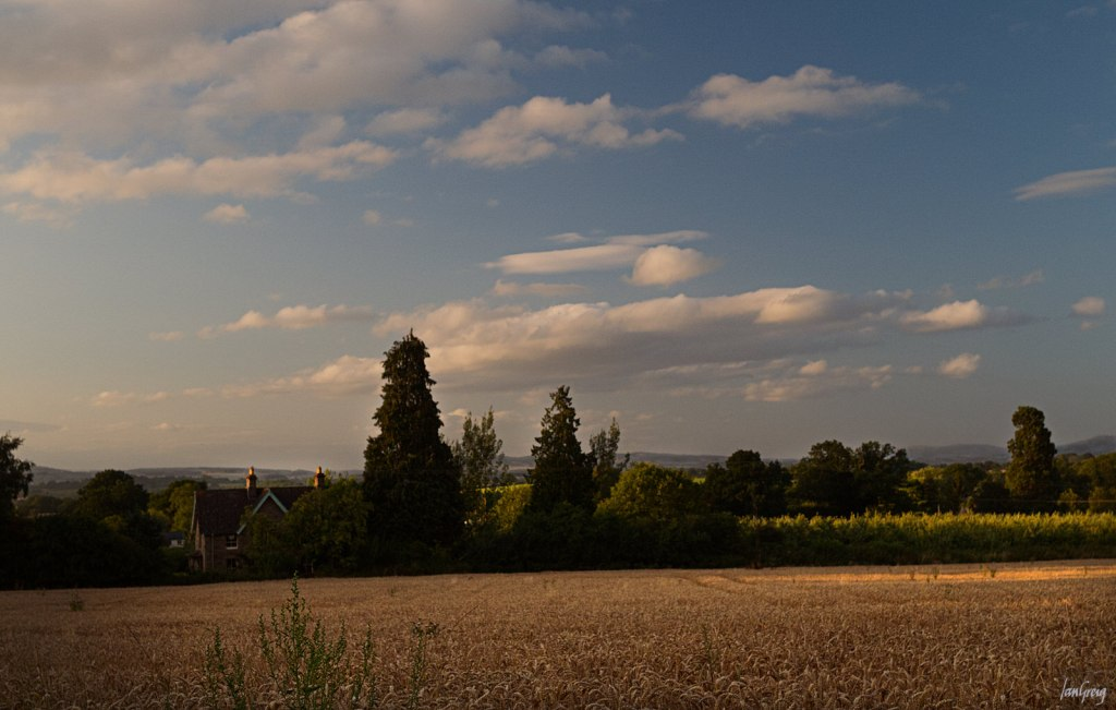 Field of ripe wheat in evening sunlight and cloud pattern