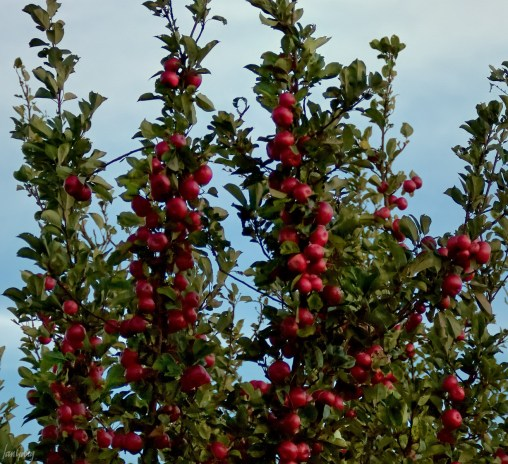 Red apples crowding together in the tops of the trees