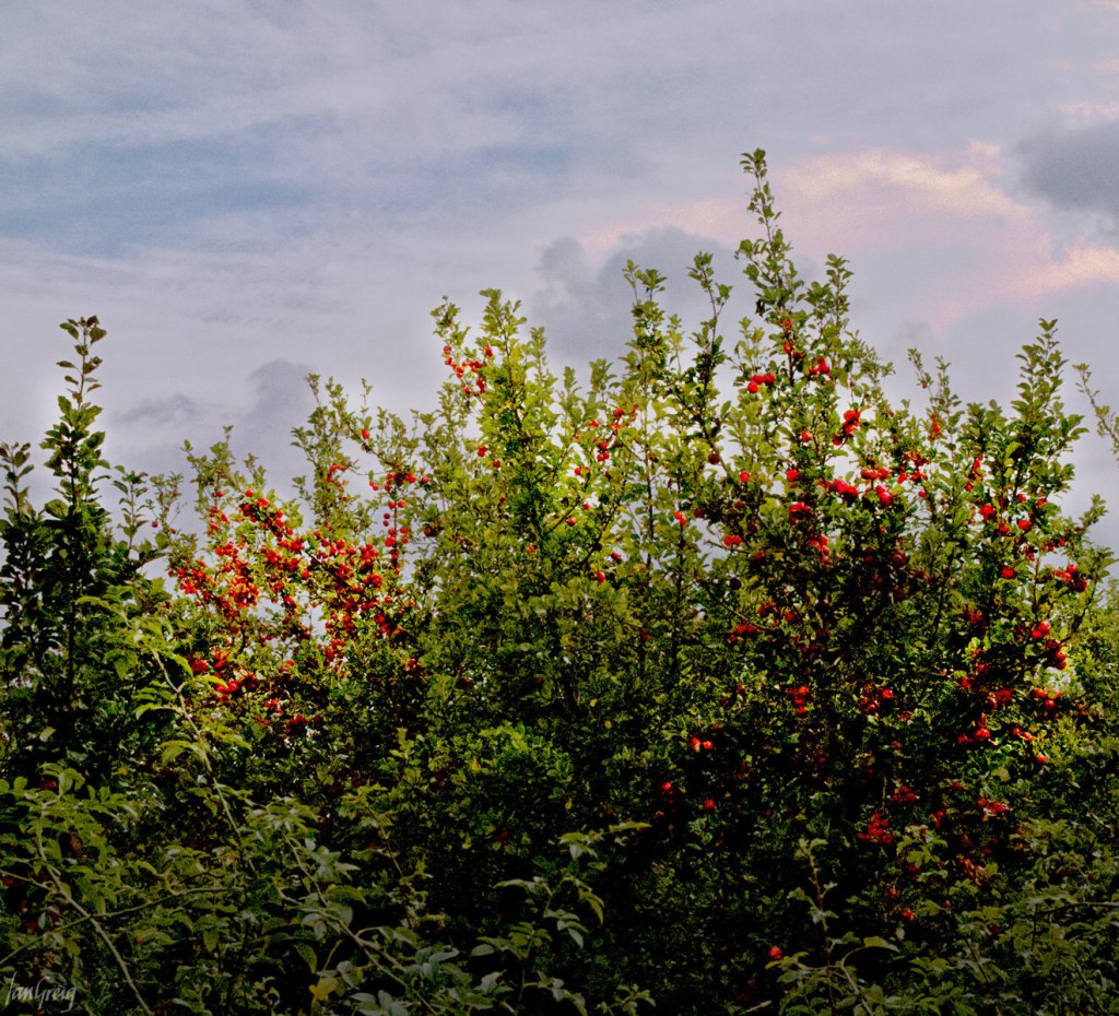 Apple orchard trees laden with bright red cider apples