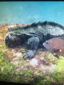 Underwater Iguana on the Galapagos Islands