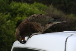 Kea - An alpine parrot that liked to chew our van