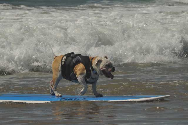 photograph of a surfing bull dog
