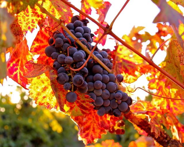 Zinfandel Grapes, Mokelumne River AVA, Lodi. Photography by Randy Caparoso.