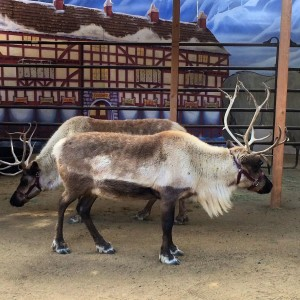 Reindeer on display at the L.A. Zoo (photo by Nikki Kreuzer)