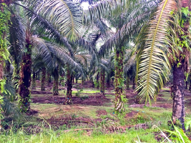 Some of the palm oil plantations along the way