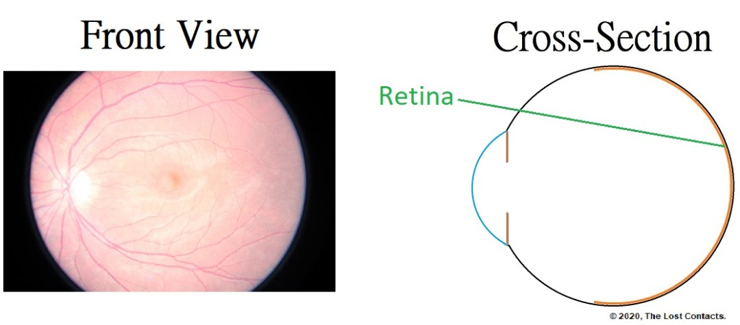 Front and Cross Section View of the Retina