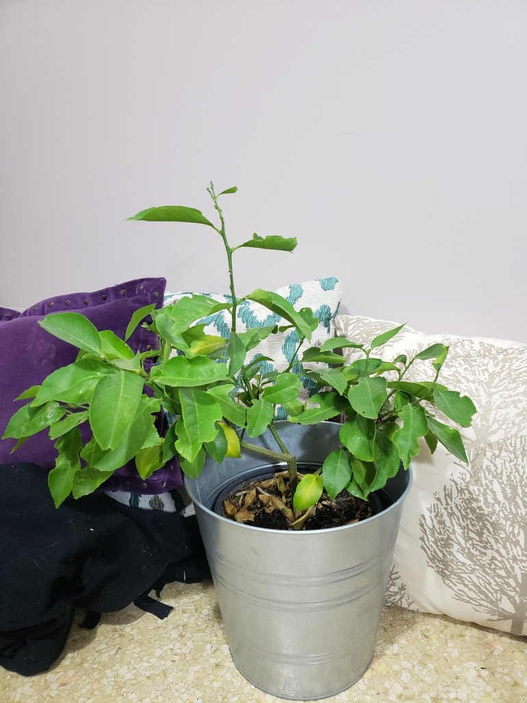 How to grow a lemon tree indoors | The LT Edit