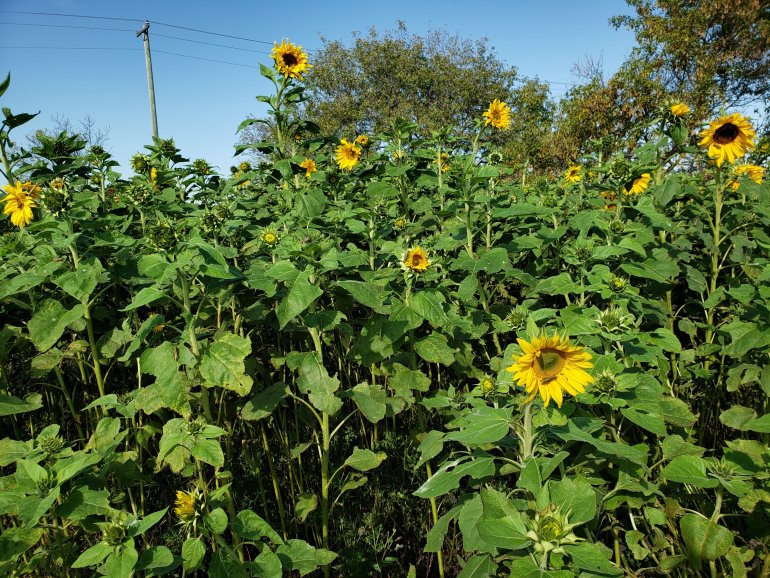 How to build a sunflower privacy fence | The LT Edit