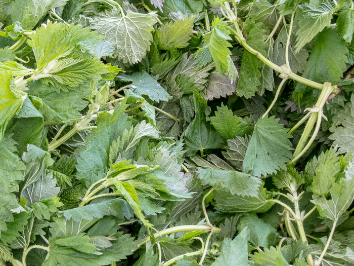 Portland Farmers Marker Opening Day 2014: Stinging Nettles