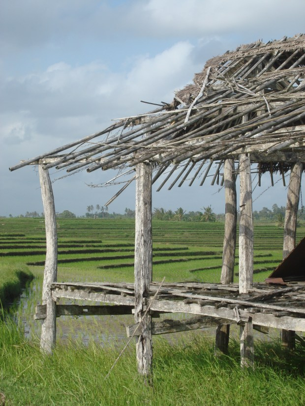RICE FIELDS IN AREA