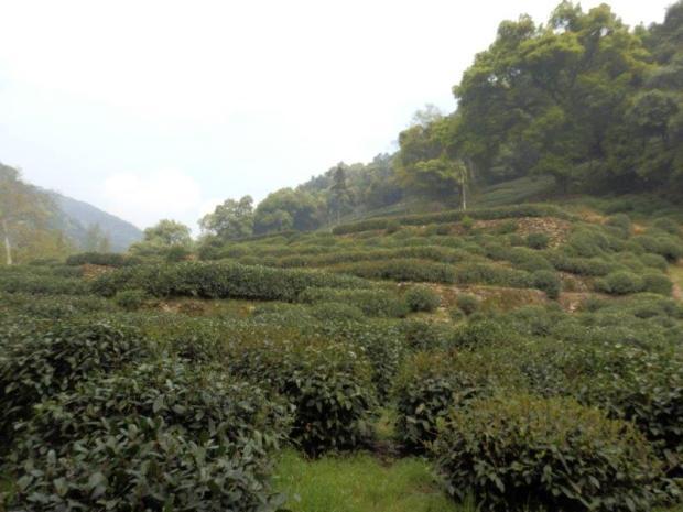NEARBY TEA FIELDS