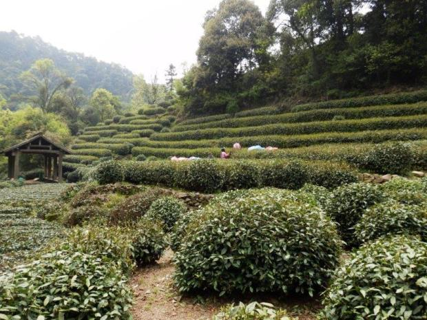 NEARBY TEA FIELDS