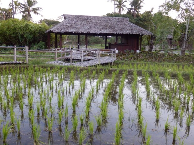 RESORT GROUNDS: RICE FIELDS