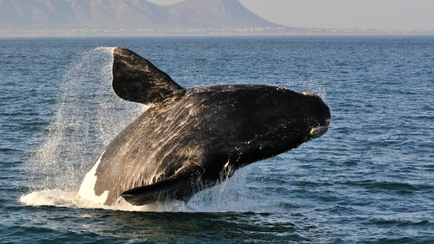 GO WHALE WATCHING IN HERMANUS