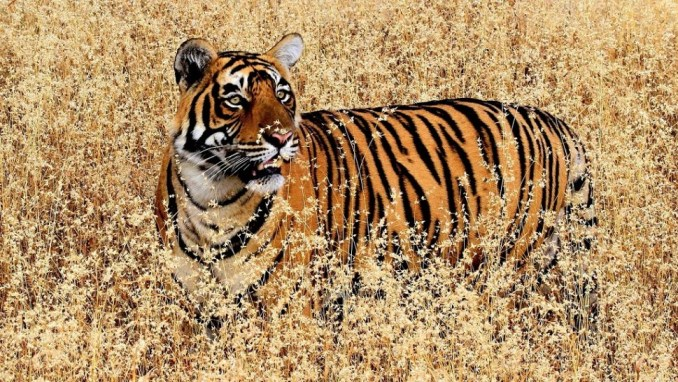 ROYAL BENGAL TIGERS AT RANTHAMBORE NATIONAL PARK