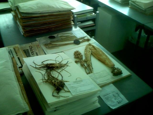 Herbarium - mounting room