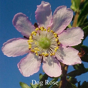 Dog Rose Buschblüten Essenzen