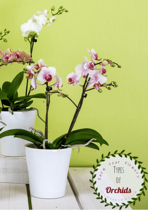 Orchids belong to the largest family of plant, the Orchidaceous. There are actually more than 25,000 types of Orchids in the world. Hundreds of hybrid species are also available for indoor and outdoor planting and care.