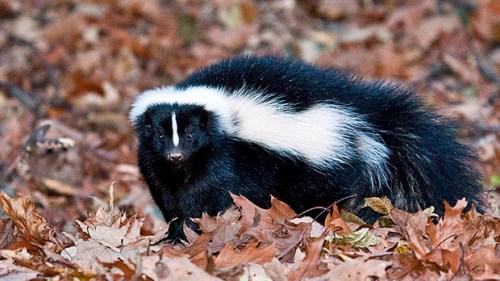 striped skunk, Mephitis mephitis, Big Meadows Campground, Shenandoah National Park; Big Meadows,Virginia, VA; mammals, skunk, skunks; generally nocturnal, omnivore, slow moving, excellent diggers, spray, sprays only when threatened, spray in self-defense,