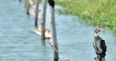 indian-cormorant