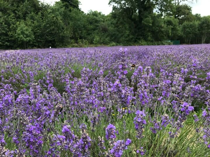Mayfield lavender