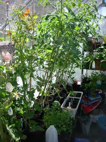Defoliated tomatoes