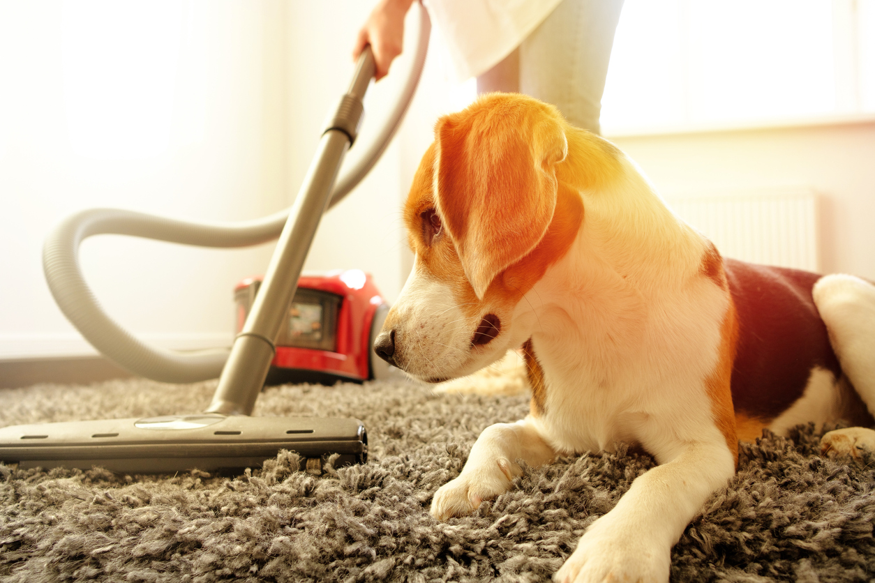 A pet owner trying to remove the dog smell from the carpet by vacuuming next to her beagle