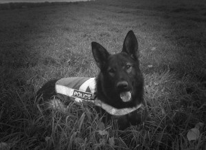 Fredericton Police dog Enzo suspended from active duty
