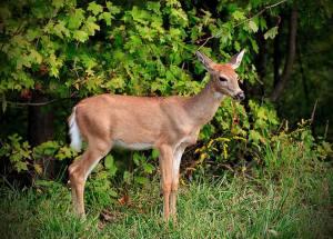 New Brunswick deer harvest lowest in 42 years, Alberta sees huge increase