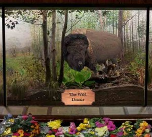 Stuffed Stumbles, last wild donair, now on display at Museum of Natural History