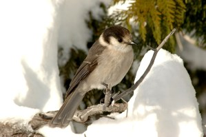 Country ranked 'C' in literacy goes out of its way to correct CBC on spelling of 'grey jay'