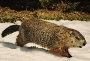thousands of groundhogs found dead in new brunswick the manatee
