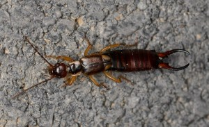 Shocking survey finds majority of Maritimers not in favour of earwigs